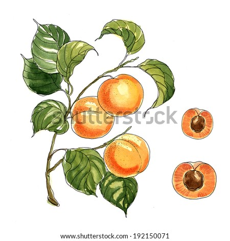 Juicy peaches on a branch in a classic style with watercolors on white background - stock photo