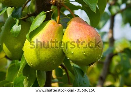 Juicy pears on tree - stock photo