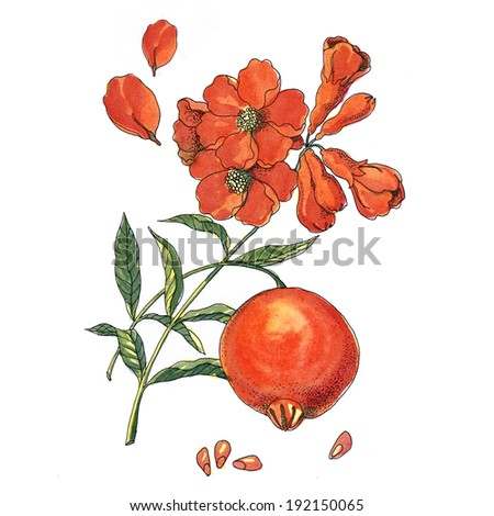 Juicy pomegranates and flowers on a branch watercolor in a classical style on a white background - stock photo