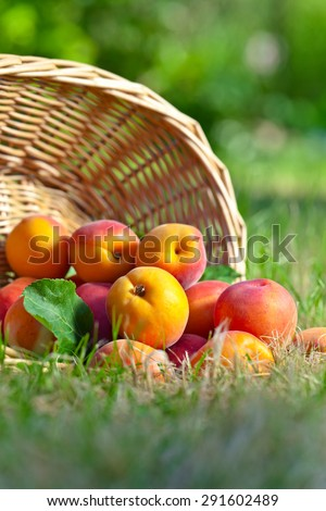 juicy ripe apricots on the grass in garden