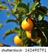 Juicy yellow plum fully ripe between green leaves and hanging from a small branch, on unfocused natural background and blue sky - stock photo