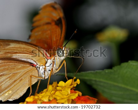 Julia (Dryas Julia) feeding on flowers in the garden