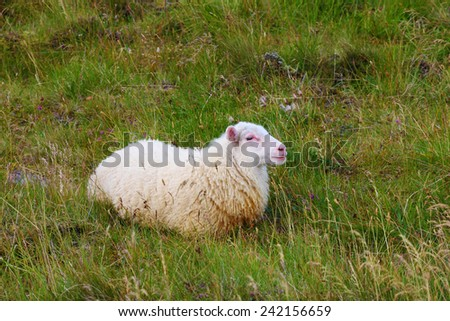 July in Iceland. White Icelandic sheep grazing in the meadow - stock photo
