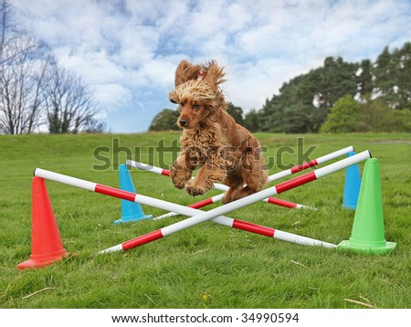 Jump for Joy, cute Cocker Spaniel ears flapping clears Jump to win canine agility Competition - stock photo
