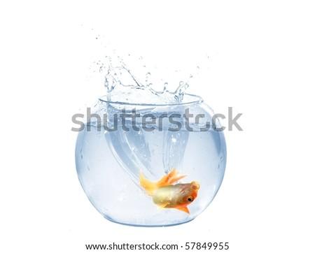 jump of gold fish to aquarium on white background - stock photo