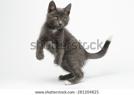 Jumped Playful Gray Kitty on White Background - stock photo