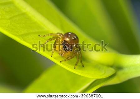Jumper Spider on background green leaf.White spider