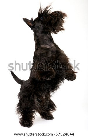 Jumping begging Scottish Terrier on white background - stock photo