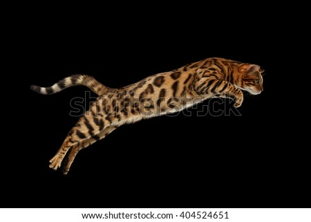 Jumping Bengal Male Cat on Black Isolated Background - stock photo