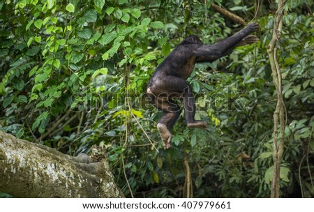 Jumping Bonobo. The Bonobo (Pan Paniscus) jumps from a tree. Green natural jungle background. Democratic Republic of Congo. Africa