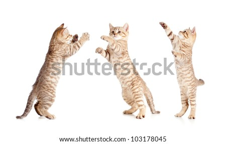 jumping british kitten set - stock photo