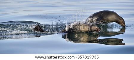 Jumping Cape fur seal (Arctocephalus pusillus pusillus) .Atlantic ocean. South Africa - stock photo