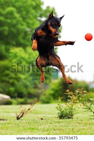 Jumping dog - stock photo