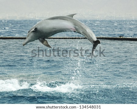 Jumping dolphin in Red sea, Eilat, Israel - stock photo