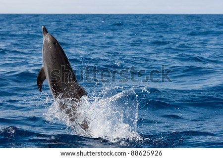 Jumping dolphin in the ocean of canary islands