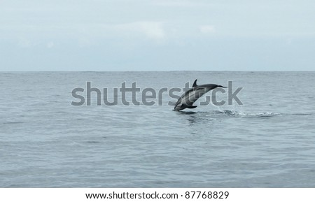 jumping dolphin in the sea - stock photo
