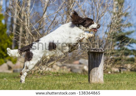 jumping english springer spaniel - stock photo