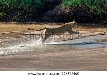 Jumping female Lion from Sand River Pride. She is hunting some Zebras in Masai Mara, Kenya - stock photo