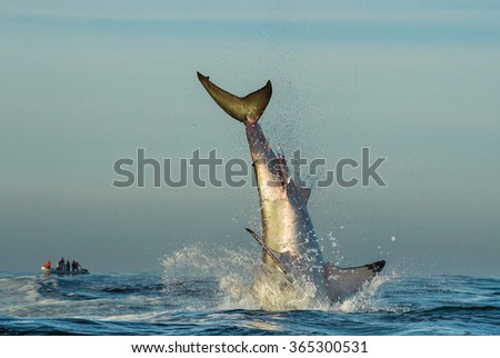 Jumping Great White Shark. Tail of the jumped-out white shark (Carcharodon carcharias) - stock photo