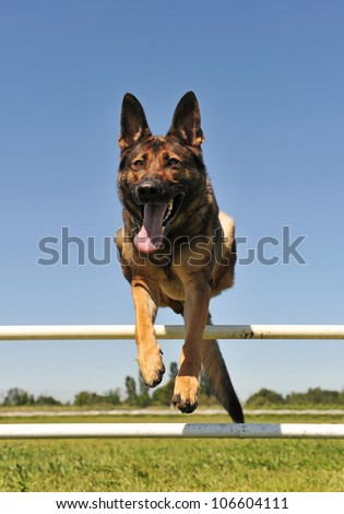 jumping grey german shepherd in a training of agility - stock photo