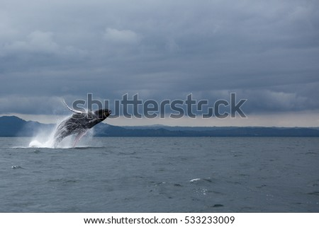Jumping Humpback whale in Samana, Dominican republic