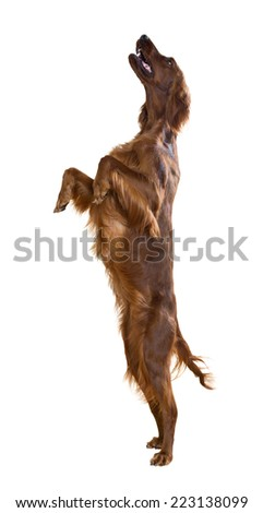 Jumping Irish Setter. Isolated over white  - stock photo
