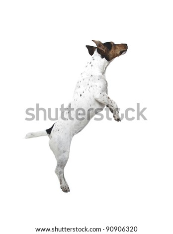 jumping Jack Russell terrier on white background - stock photo