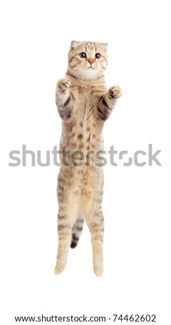 jumping kitten or cat  striped Scottish fold isolated studio shot