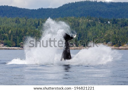Jumping Orca at Canada - stock photo