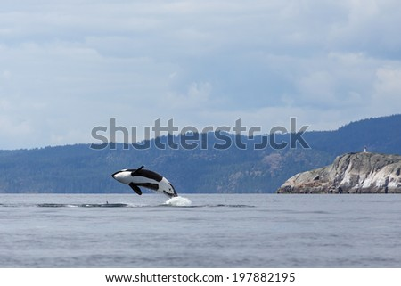 Jumping orca whale or killer whale - stock photo