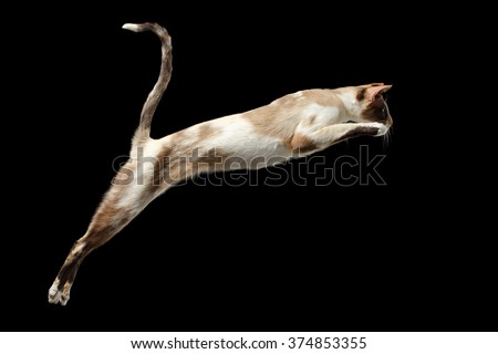 Jumping Oriental cat Isolated on Black Background