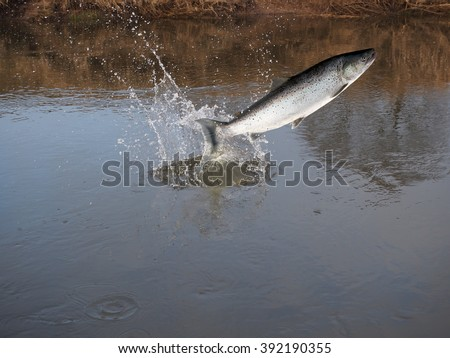 jumping out from water salmon  on river background