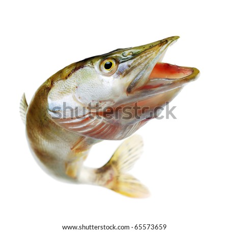 Jumping pike with opened mouthe. Isolated on white - stock photo