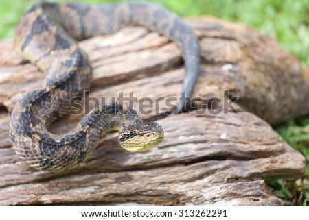 Jumping Pit Viper (atropoides Mexicanus) - stock photo