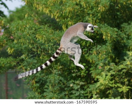 Jumping ring-tailed lemur in the air on the green background - stock photo