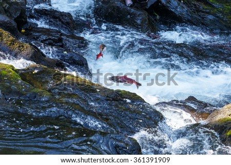 Jumping Salmon in a river - stock photo