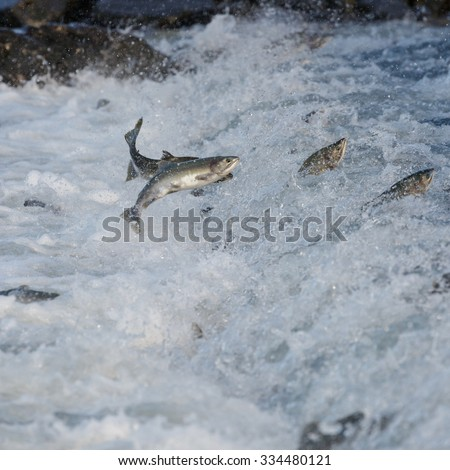 Jumping salmon in a river at Alaska