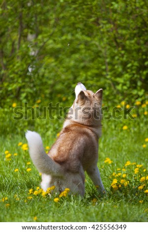 Jumping Siberian husky on green grass background - stock photo