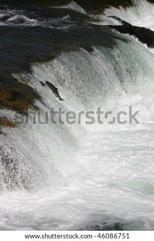 Jumping sockeye salmon - stock photo