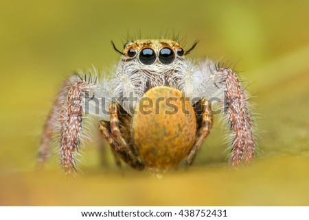 Jumping spider eating its victim - stock photo