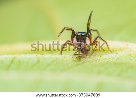 Jumping spider eating victim