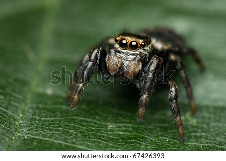Jumping spider Evarcha arcuata on a green leaf - stock photo