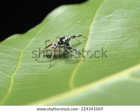 Jumping Spider in the wild