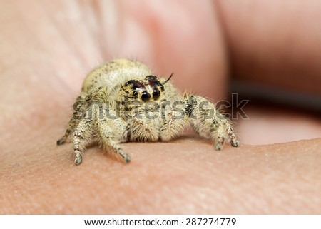 Jumping spider on hand