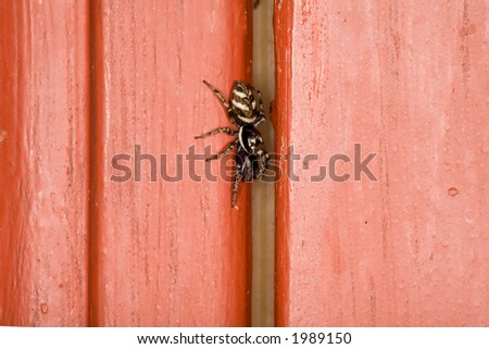 Jumping Spider on Red Painted Wood