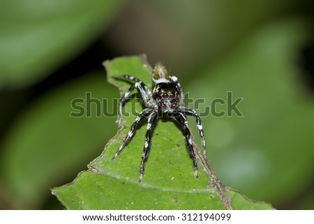 Jumping spider on the leaves