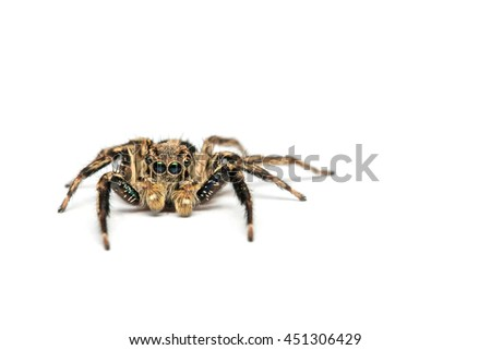 Jumping spider on White background - Portrait of a jumping spider (Salticus scenicus) with copy space
