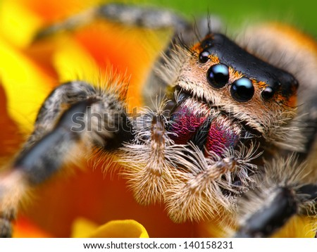 Jumping spider Phidippus regius with nice colorful background - stock photo