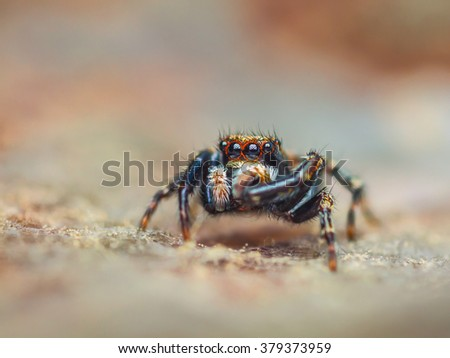 Jumping spider Pseudeuophrys lanigera (2mm in bodysize) - stock photo