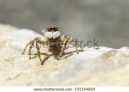 Jumping Spider (Salticus scenicus) - stock photo